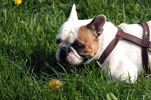 Dog walking in the Park. English bulldog walks on the green grass