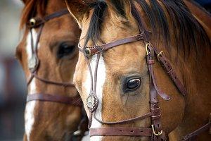 Cavalry Don horses