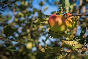 Organic Apple on Tree