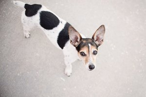Portrait of Jack Russell Terrier