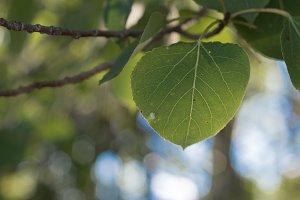 Closeup of Aspen Leaf