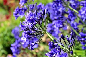 Blue Flower Agapanthus