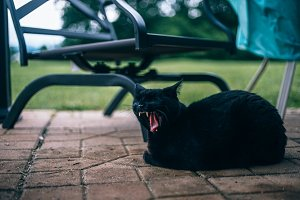 Black Cat Yawning