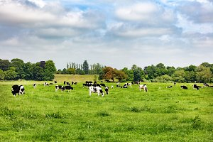 Dairy Cows in Grass Field