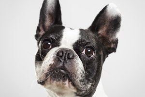 Studio portrait of an expressive French Bulldog dog