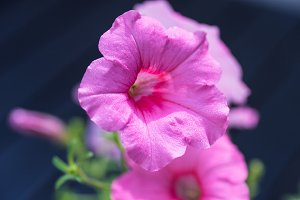 Petunia flowers in a pot