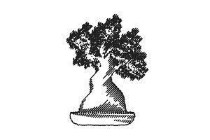 isolated banzai tree