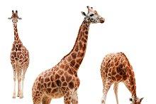 Three giraffe in different positions