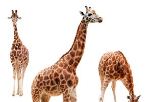 Three giraffe in different positions