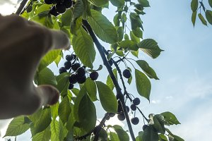 close up person's hand reaches for the sweet cherries in the garden