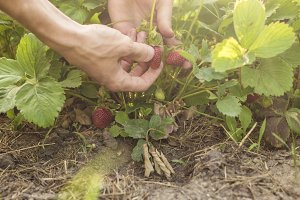 person hands plucking berries from strawberry bush growing in garden