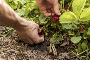 hands reaching the strawberry growing in the garden