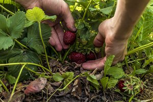 close up hand gather the strawberry in garden