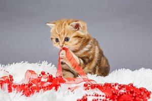 Kitten of British marble breed