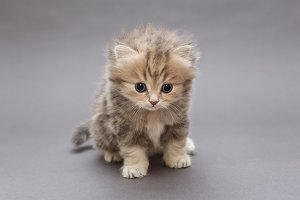 Kitten of British marble breed