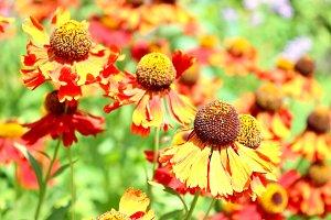 Orange flower helenium