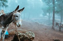 Donkey standing sideways near the pine forest on early misty morning ready to work by  in Animals