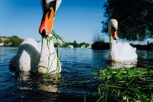 Close up of white grace swan stretching his neck and head towards the camera. Alster lake on a sunny day in Hamburg