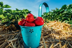 Blue bucket with fresh pick strawberries on a field