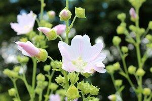 Pink Malva Flowers Pink hollyhocks