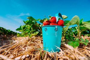 Wide perspective of blue bucket full of fresh pick strawberries. Strawberry field on sunny day with clear blue sky in background