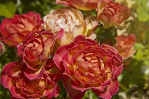 Vibrant Blooming Roses (Photo)