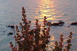 Sunset Flower Malva in Sea Front