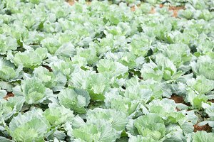 Cabbage farm agriculture