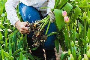 Cutting the tulip bulb