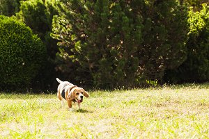 Beagle is running