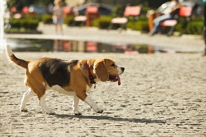 Walking beagle dog