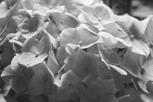 Hydrangea Detail Black and White