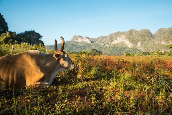 Stock Photos: O_kO - Cuban cow