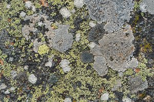 Texture of various lichens