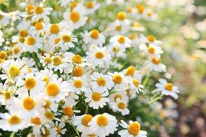 Daisy flowers 2.