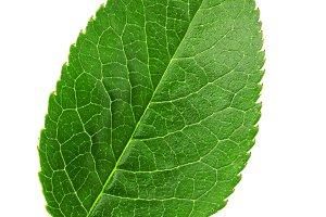 Cherry leaf isolated on white background macro