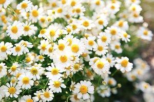 Daisy flowers 3.