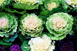 Decorative Cabbage Background