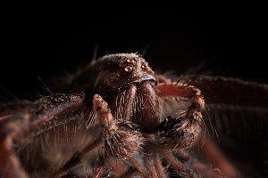 Wolf Spider (Macro)