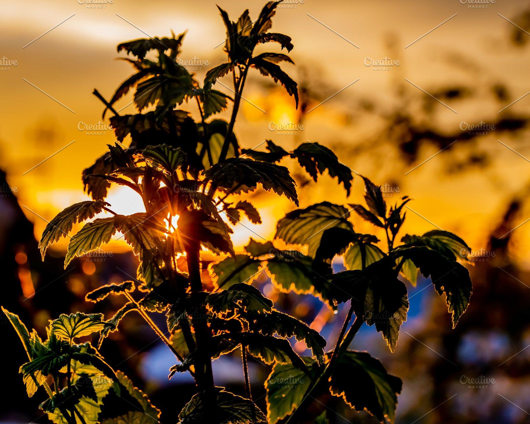 A dark silhouette of raspberry b the best photos