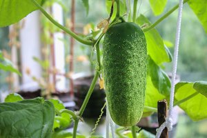 A fresh green balcony cucumber hangs on a branch.