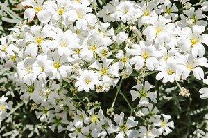 White flowers closeup