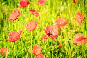 Red poppies in a summer meadow on