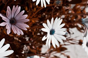 Osteospermum flowerbed