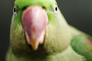 Close up of a King Parrot