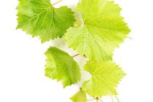 Grape leaves Green vine leaf
