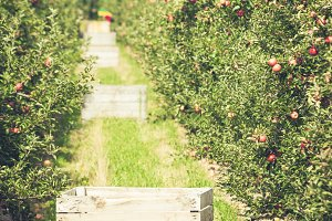 Apple garden full of riped red
