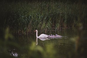 Swan with babies swimming on a lake