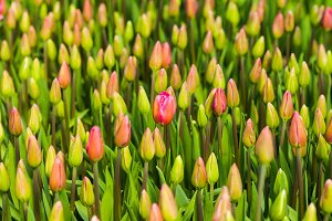 Tulips buds pattern