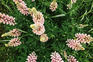 Top view of the Lupin flowers
